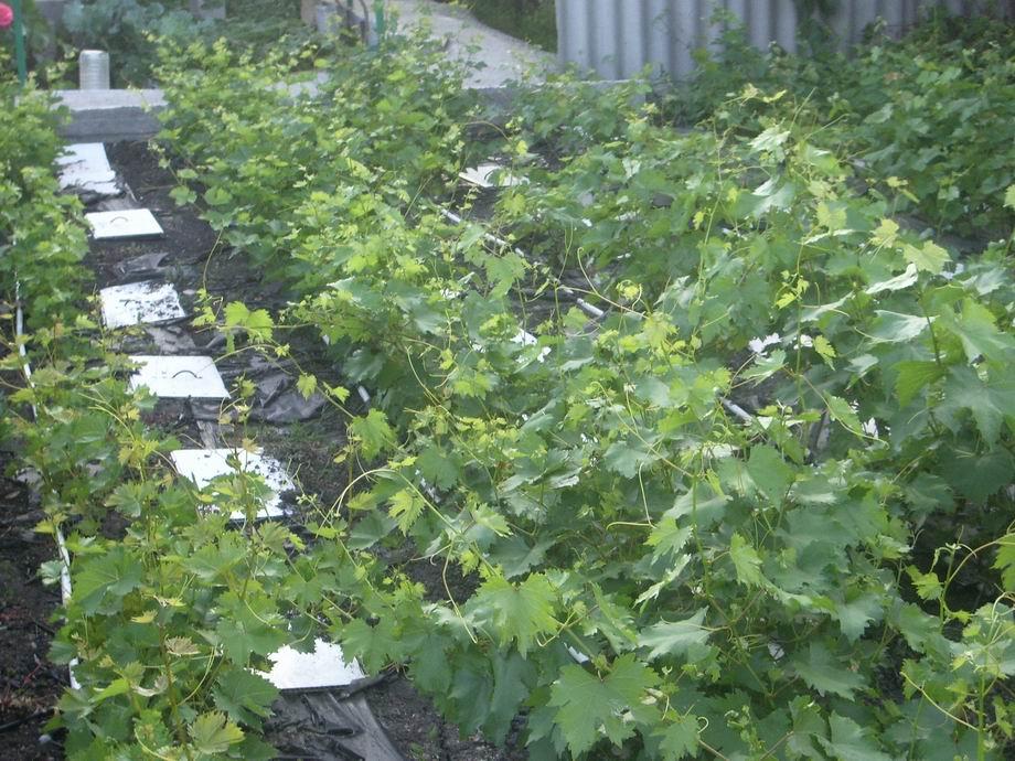 Размножение винограда [Архив]